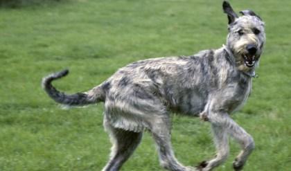"""Irish Wolfhound aka """"Threegional Manager"""""""