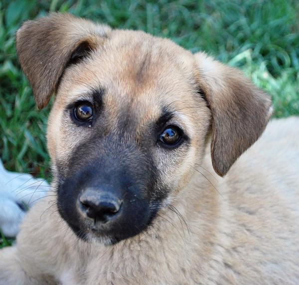 Турецкий кангал - описание породы собак, фото