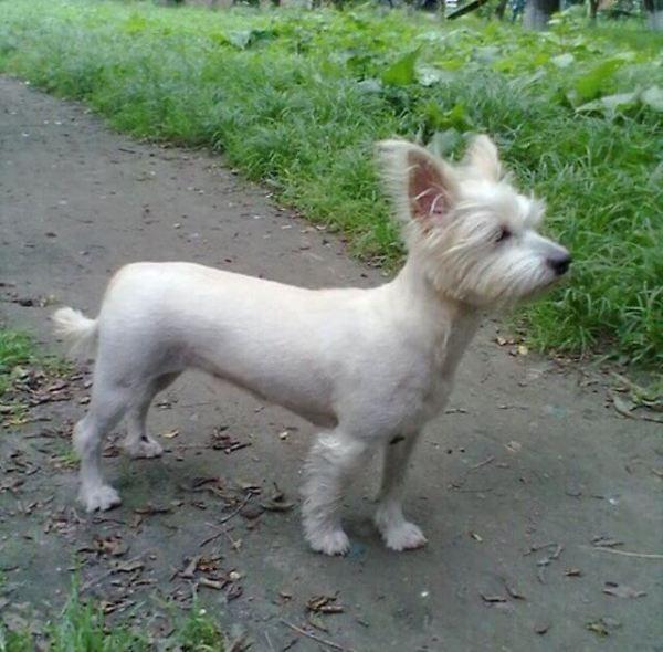 Московский Дракон Собака Фото Цена