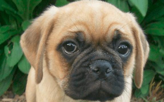 Designer Dogs - Puggle