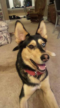 Gerberian Shepsky pup with Multi-colored eyes.
