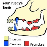 puppy teeth graph