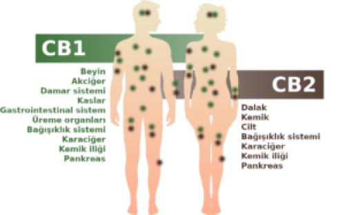 İnsan vücudunda CB1 ve CB2 reseptörleri bulunan endokannabinoid sistem