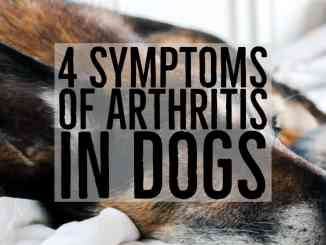 dog with arthritis symptoms