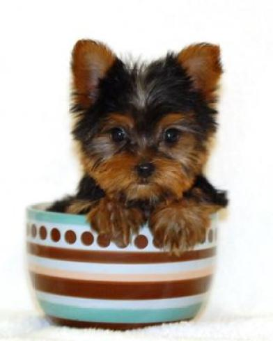 4dc79674d9e Teacup Dogs: All About Teacup Puppies