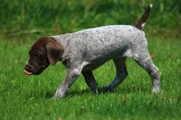 Pointer Dog Puppies Information and Wallpapers