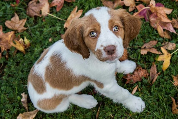 Brittany Dogs and Puppies [GUIDE] Dog Breed Information