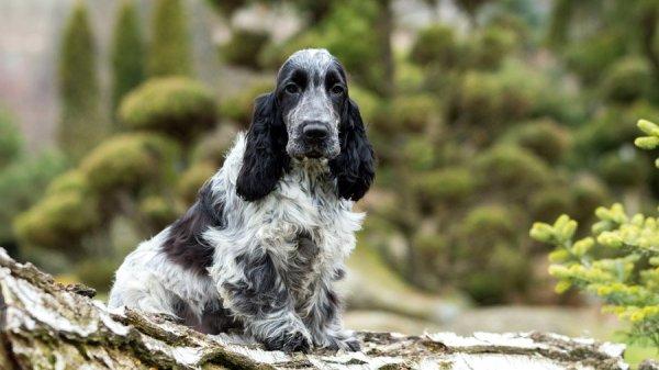 Собака Кокер-спаниель: описание породы, фото, цена щенков ...