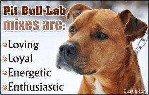 pitbull lab mix temperament