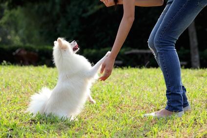 子犬のうちに!基本的なポメラニアンのしつけ方、8項目