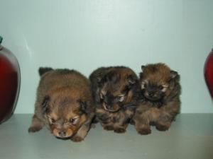 ポメラニアンの子犬たち