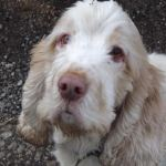 Senior cocker spaniel with dementia