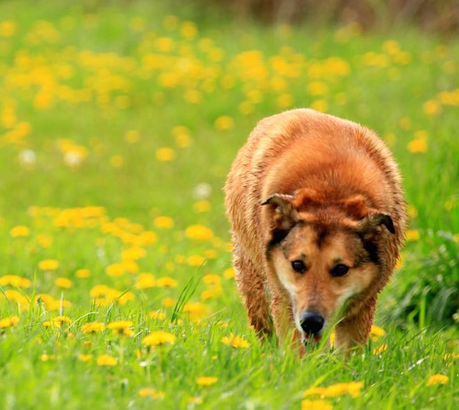 A senior mixed breed dog with dementia
