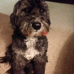 Tibetan terrier with canine cognitive dysfunction