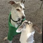 Italian greyound with canine cognitive dysfunction