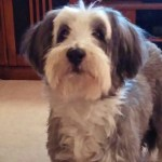 Bearded collie with canine cognitive dysfunction