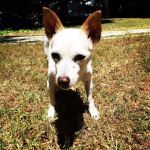 Small dog with canine cognitive dysfunction