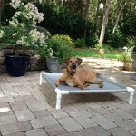 Senior Rhodesian Ridgeback lying on his elevated bed