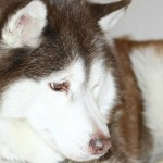 Sally, husky with dog dementia