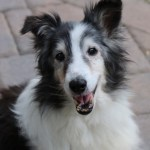 Shetland Sheepdog with canine cognitive dysfunction
