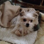 Tiny dog with canine cognitive dysfunction
