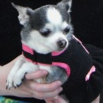 Chihuahua with dementia