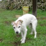 18 year old Jack Russell Terrier with canine cognitive dysfunction
