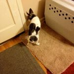 Dog with canine cognitive dysfunction, standing with her head in a corner