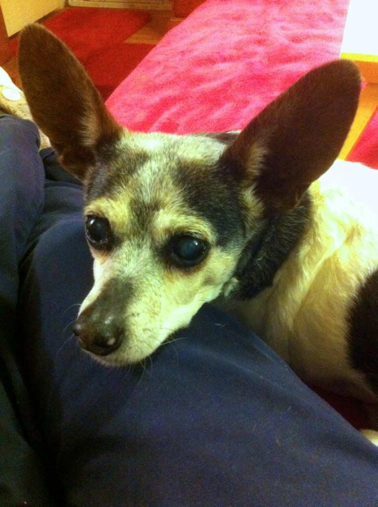 Closeup of face of black, white, and tan rat terrier with big ears