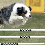 Dog jumping over agility jump