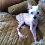 Senior Chinese crested dog
