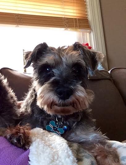 Elderly schnauzer dog with dementia