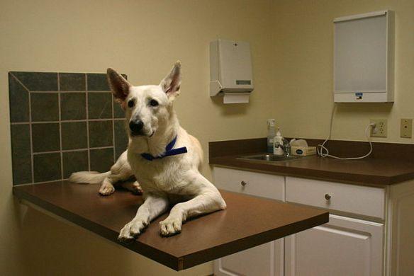 white german shepherd dog lying on vet table