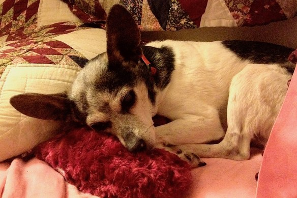 rat terrier with dementia with her head on a pillow