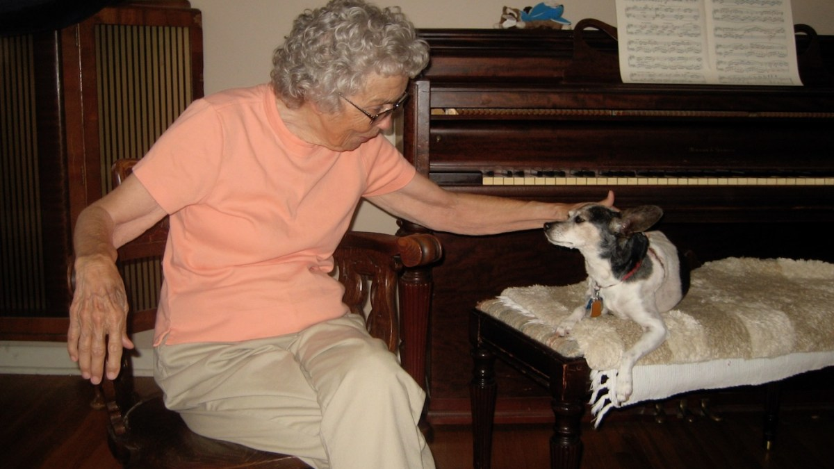 elderly woman petting small tri-color rat terrier