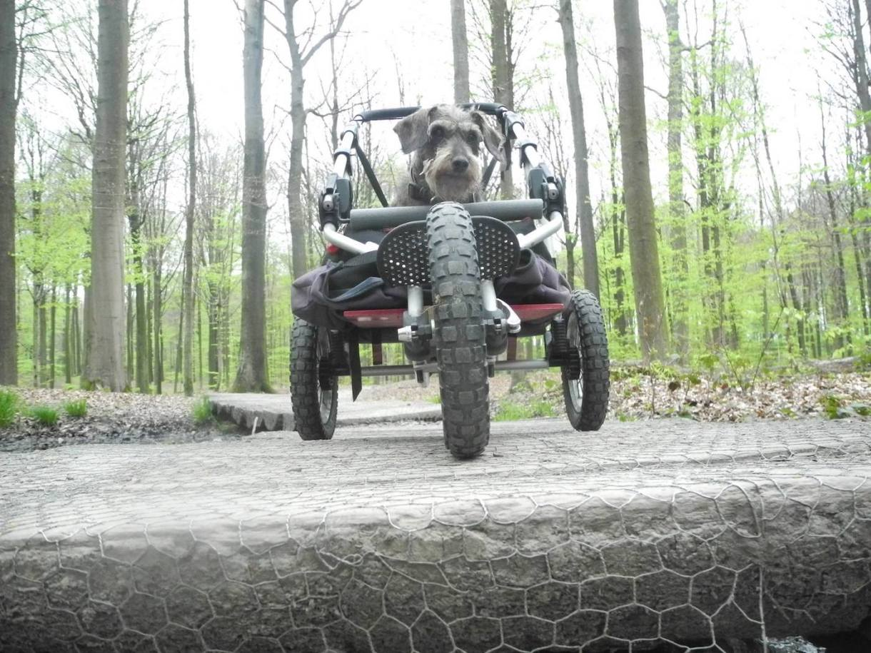 front view of dachshund in her custom dog stroller