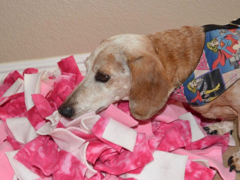 elderly dachshund in a colorful vest sniffing treats out of a snuffle mat