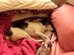 Old dog, rat terrier, asleep surrounded by pillows