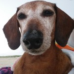 elderly dachshund with a lot of white on its face