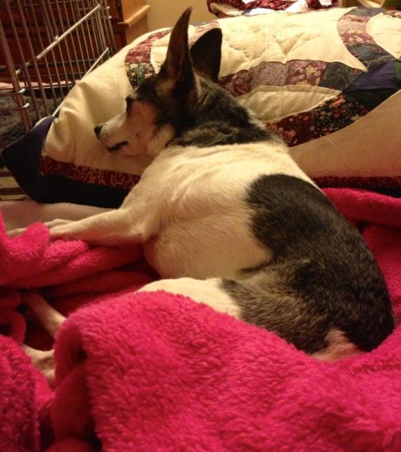An old black and white rat terrier is lying on a bed with her head on a pillow. She is staring off into the distance