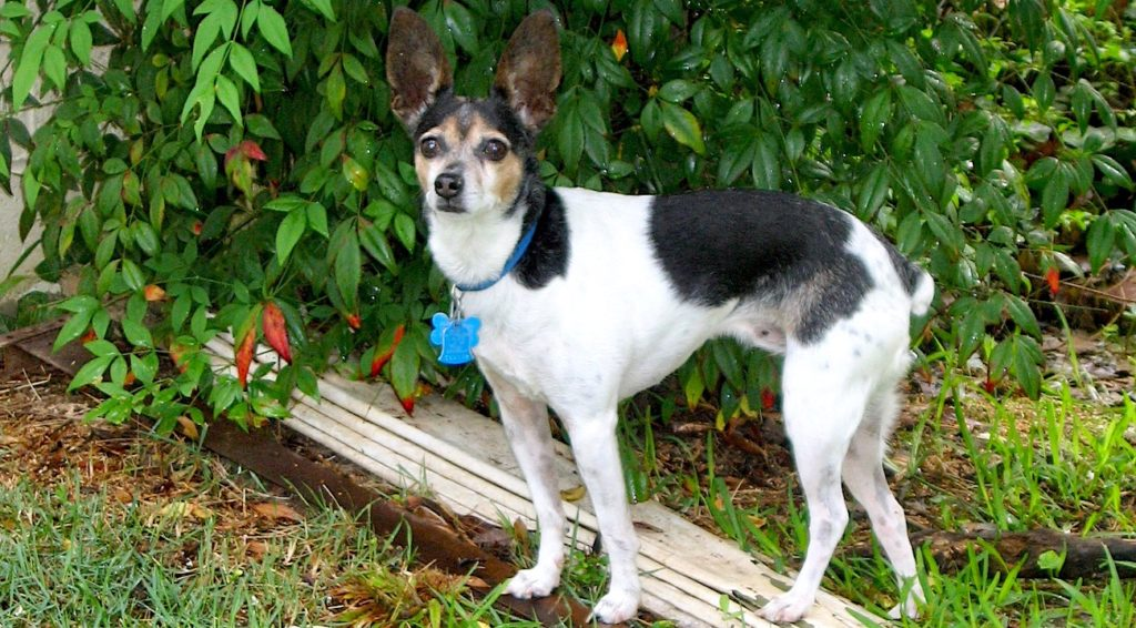 Tri-color rat terrier standing in front of a bush