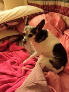 Small rat terrier starting to stand up on colorful bedcovers