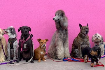 a community of dogs of various dogs (random breeds) in front of bright-pink wall
