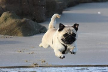 It's a bird! It's a plane! No, it's a pug levitating above water? How the…