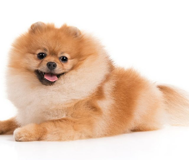 Like All Dogs Pomeranians Require Good Quality Protein The Association Of American Feed Control Officials Aafco Recommends A Minimum Of  Percent