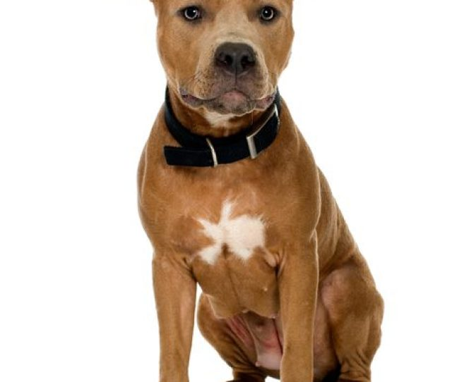 Best Dog Food For Senior Pitbulls