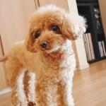 目ヤニ・涙やけが犬用サプリメントビオワンファインで改善されました