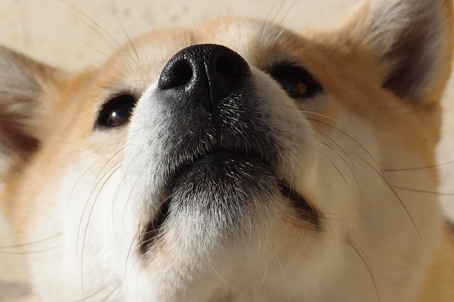 柴犬お鼻ドアップ