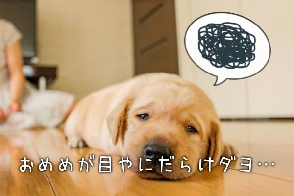 犬が目ヤニだらけって病気?心配なこと