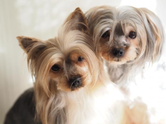 高齢者にオススメな犬種「ヨークシャテリア」